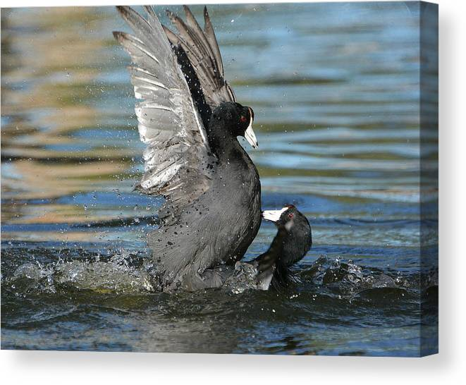 American Coots Canvas Print featuring the photograph Duel by Fraida Gutovich