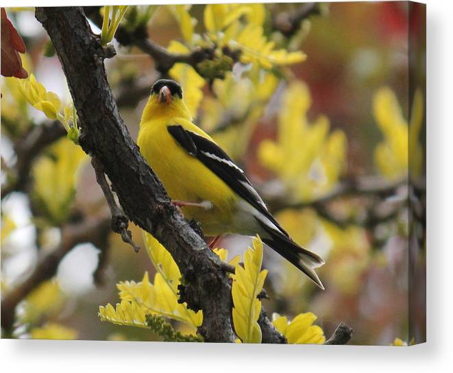 Camoflage Canvas Print featuring the photograph Gold Finch Gold Leaves by Trent Mallett