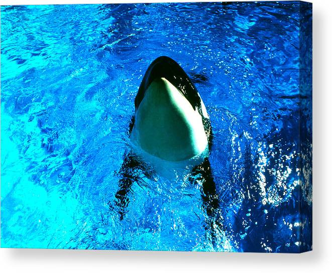 Animals; Orcas; Killer Whales; Still Lifes; Fine Art. Canvas Print featuring the photograph Killer Whale Greeting by Robert Rodvik