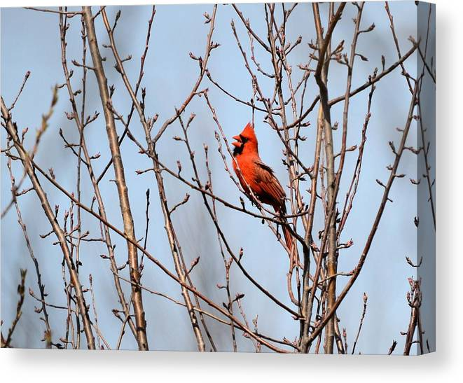 Cardinal Canvas Print featuring the photograph Singing For A Mate by Bonfire Photography