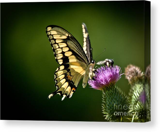 Canvas Print featuring the photograph Swallowtail And Friends by Cheryl Baxter
