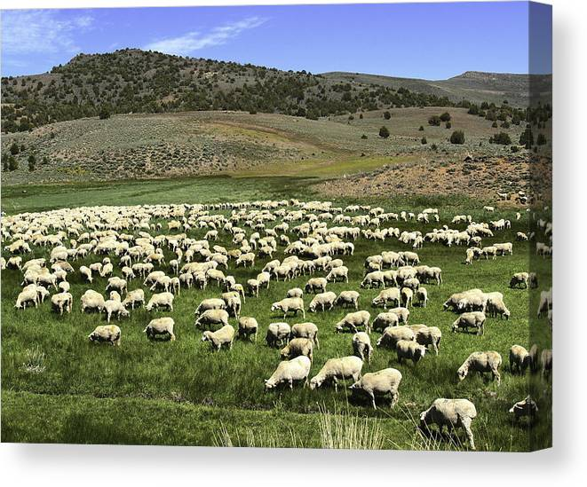 Landscape Canvas Print featuring the photograph A Flock Of Sheep by Philip Tolok