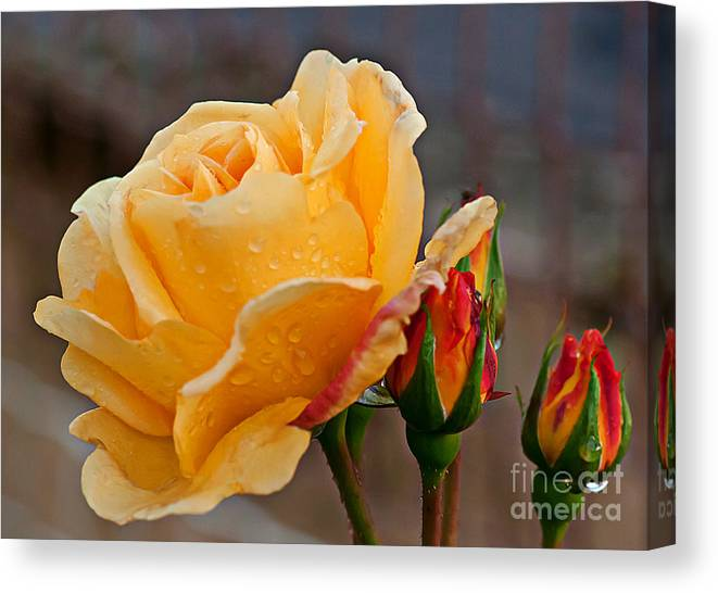 Rose Canvas Print featuring the photograph Raindrops On Roses by David Hollingworth