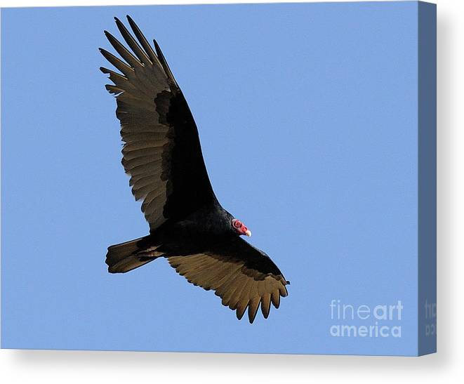 Turkey Vulture Canvas Print featuring the photograph Turkey Vulture by Marc Bittan