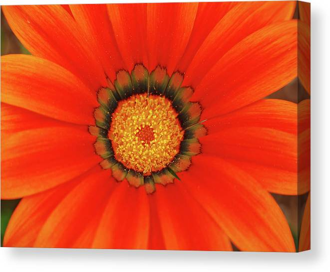 Daisy Canvas Print featuring the photograph The Beauty Of Orange by Lori Tambakis