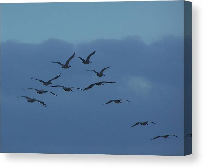 Pelican Canvas Print featuring the photograph Pelican Flock by Terry Adamick