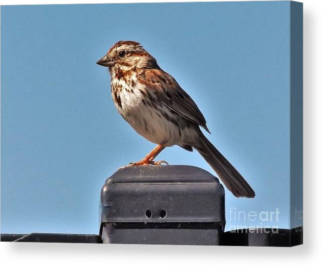 Sparrow Canvas Print featuring the photograph Song Sparrow Profile     Summer   Indiana by Rory Cubel
