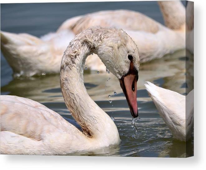 Animal Canvas Print featuring the photograph Swan by Taras Bekhta