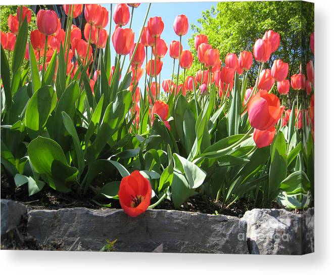 Fleur Canvas Print featuring the photograph Tulipes Tulipe by Andre Paquin