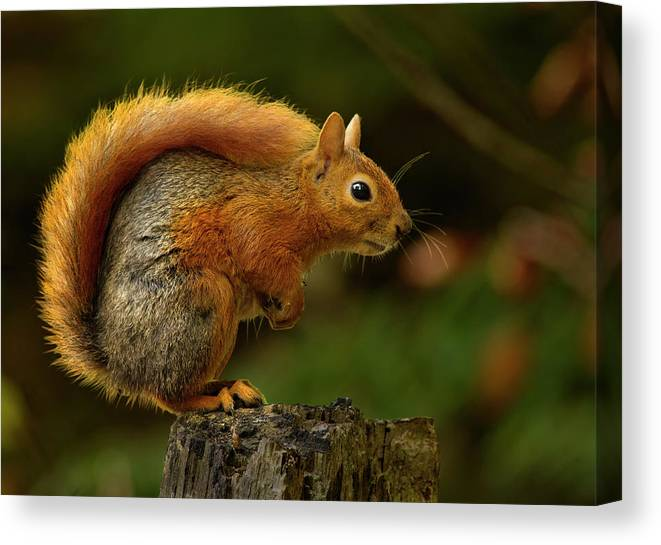 Squirrel Canvas Print featuring the photograph Do Not Move by Engin Karci