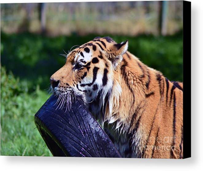 Tiger Canvas Print featuring the photograph Tiger Playing by Andrew Barke