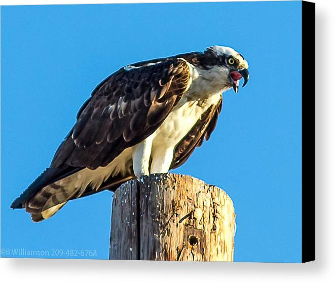Osprey Canvas Print featuring the photograph An Osprey Calling by Brian Williamson