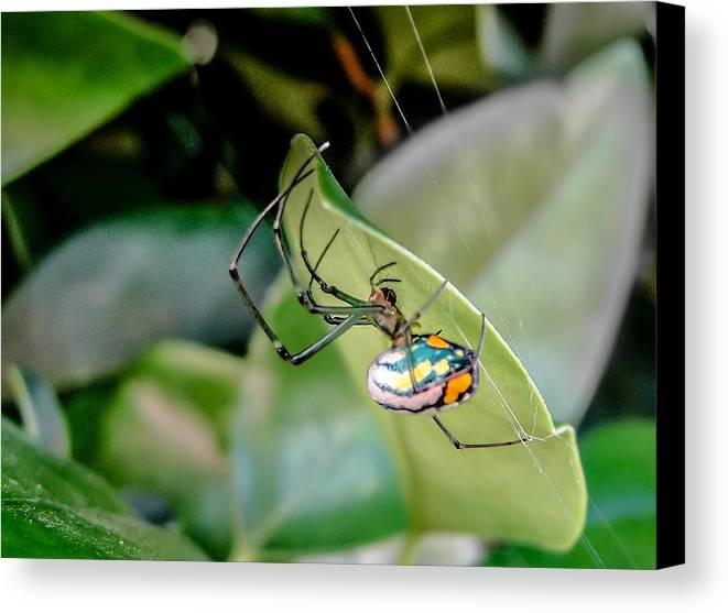 Orbweaver Canvas Print featuring the photograph Blue Orbweaver by TK Goforth