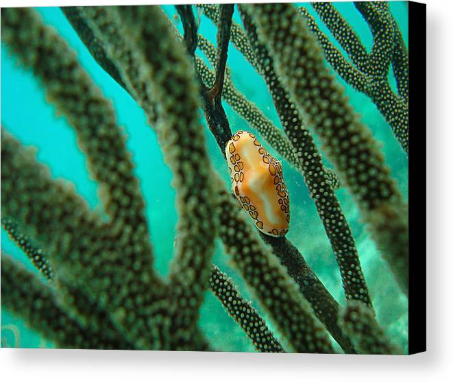 Underwater Canvas Print featuring the photograph Flamingo Tongue by Camilla Fuchs
