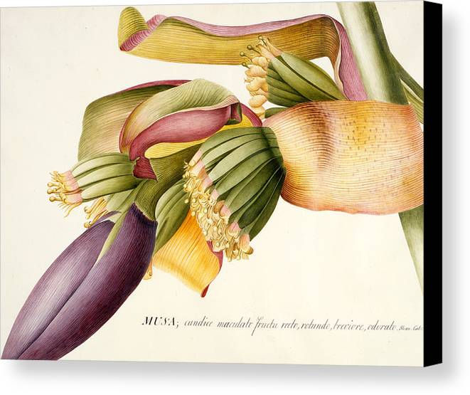 Ehret Canvas Print featuring the painting Flower Of The Banana Tree by Georg Dionysius Ehret