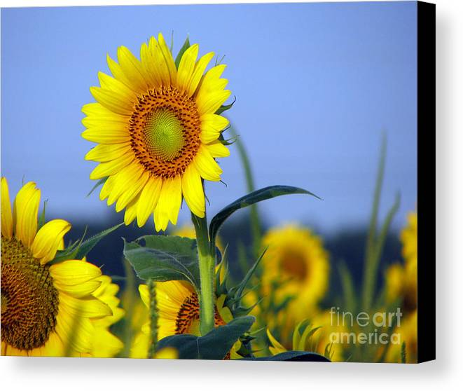 Sunflower Canvas Print featuring the photograph Getting To The Sun by Amanda Barcon