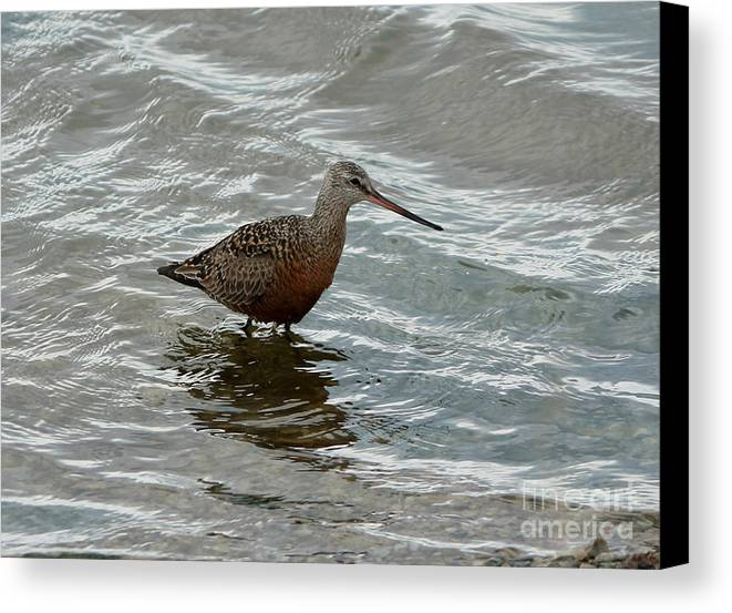 Marbled Godwit Canvas Print featuring the photograph Marbled Godwit by Lori Tordsen