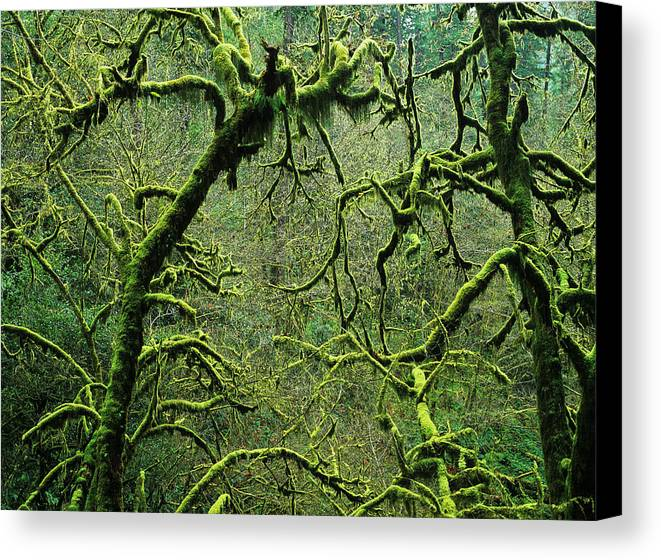 Moss Canvas Print featuring the photograph Mossy Trees Leafless In The Winter by Robert L. Potts