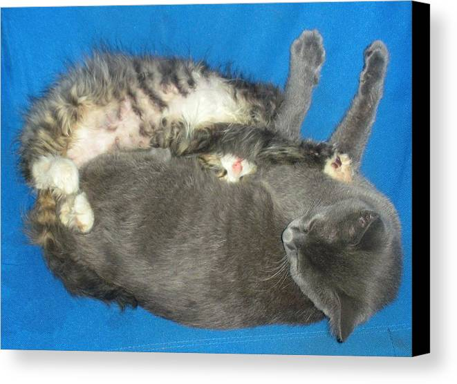 Cat Canvas Print featuring the photograph Nap Time by Danielle Rogers