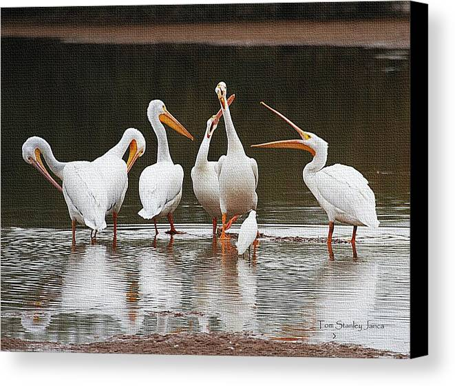 Pelicans Singing Old Angzine Canvas Print featuring the photograph Pelicans Singing Auld Lang Syne by Tom Janca