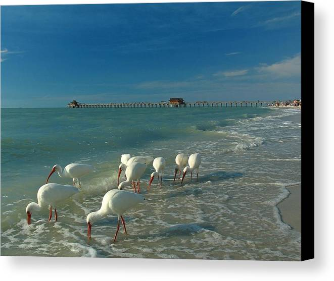 Florida Canvas Print featuring the photograph White Ibis Near Historic Naples Pier by Juergen Roth