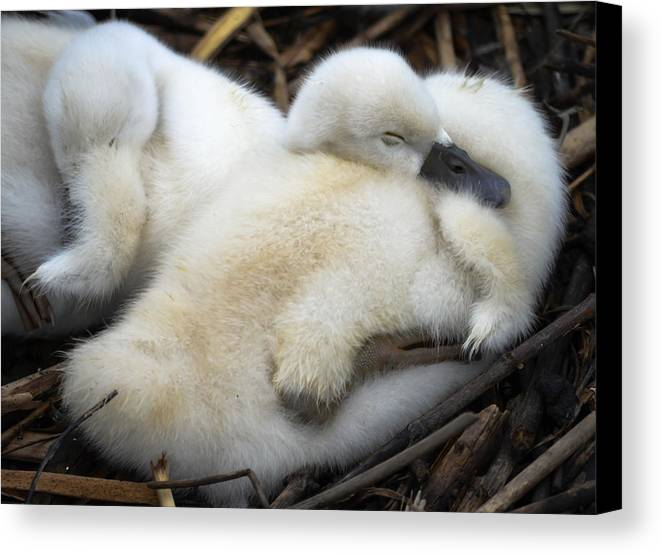 Canvas Print featuring the photograph Cygnet by Brian Stevens