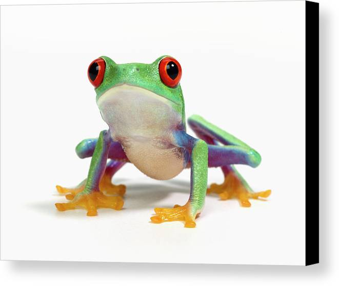 Horizontal Canvas Print featuring the photograph Red Eyed Frog (agalychnis Callidryas) White Background by Don Farrall