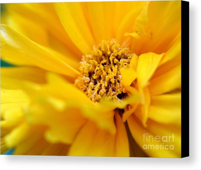 Flower Canvas Print featuring the photograph Marigold by Pamela Corey