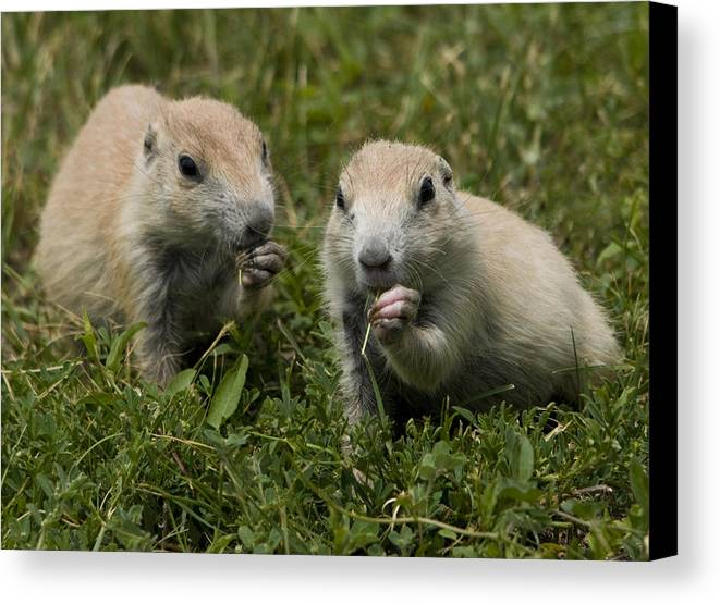 Prairie Dogs Canvas Print featuring the photograph Prairie Dogs by Wade Aiken