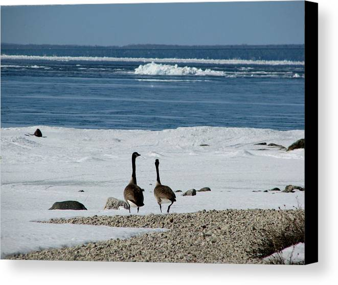 Canada Geese Canvas Print featuring the photograph Waiting For Spring by Keith Stokes