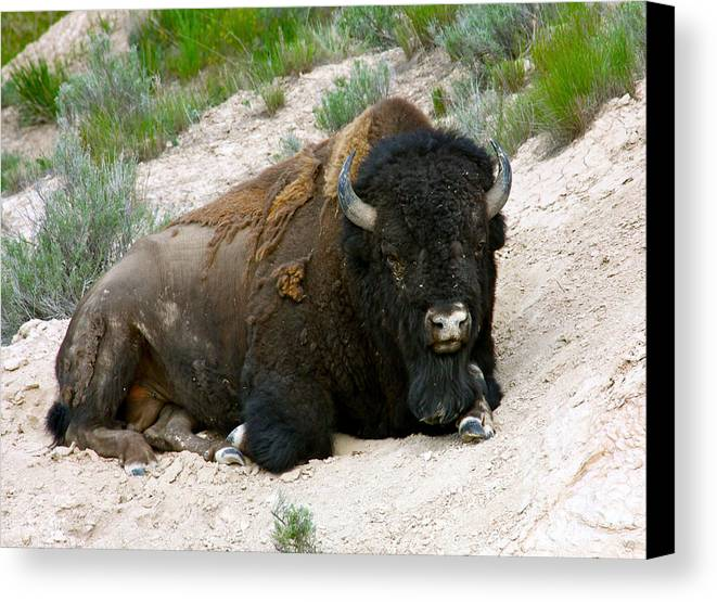 America Canvas Print featuring the photograph American Bison by Karon Melillo DeVega