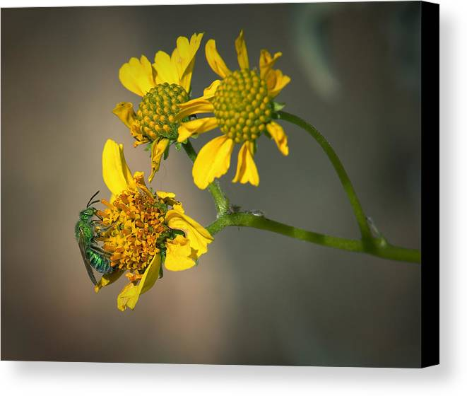 Flowers Canvas Print featuring the photograph Bee Happy by Elaine Malott