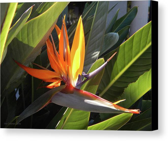 Floral Canvas Print featuring the photograph Bird Of Paradise by Lisa Cassinari