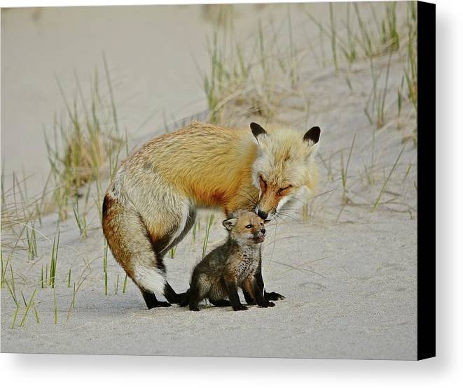 Male Fox Canvas Print featuring the photograph Dunr Fox Father And Child by Susan Ballard