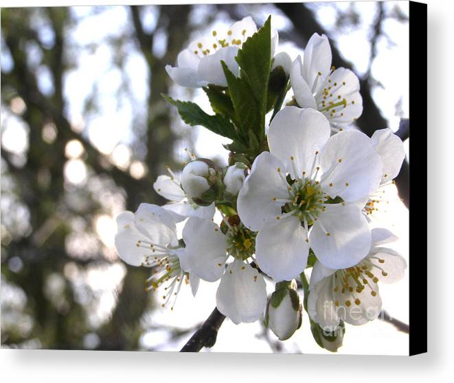 Cherry Blossoms Canvas Print featuring the photograph Evening Show - Cherry Blossoms by Angie Rea
