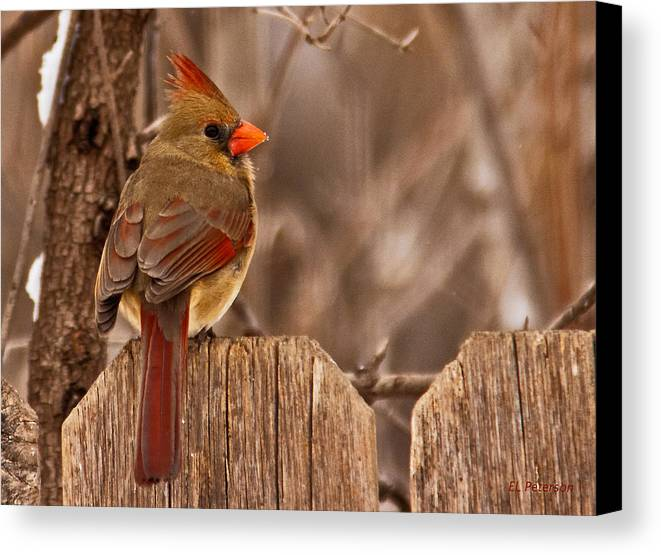 Northern Cardinal Canvas Print featuring the photograph Female Cardinal On The Fence by Edward Peterson