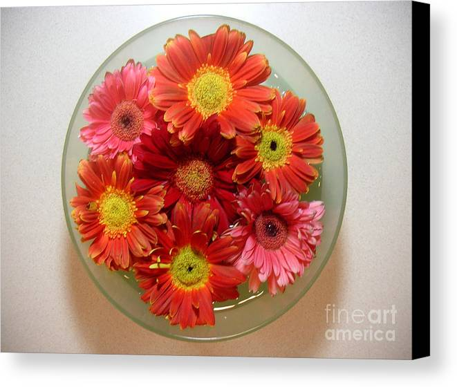 Nature Canvas Print featuring the photograph Gerbera Daisies - From Above by Lucyna A M Green