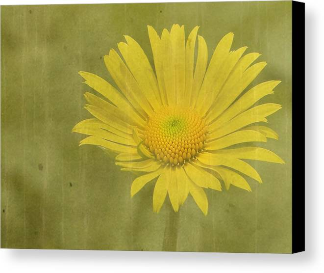 Daisy Canvas Print featuring the photograph Hotty by Rebecca Cozart
