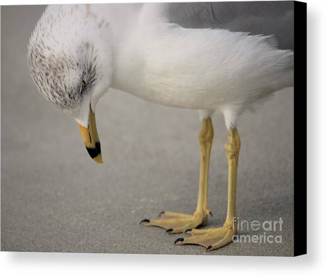 Sea Gull Canvas Print featuring the photograph I Need A Pedicure by Paulette Thomas
