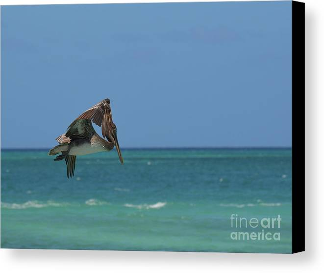 Pelican Canvas Print featuring the photograph Pelican Flapping His Wings In Flight Off Aruba by DejaVu Designs