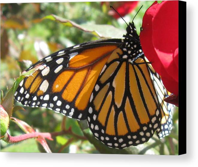 Monarch Canvas Print featuring the photograph Queen Of The Roses by Sharon Marcella Marston