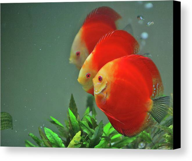 Horizontal Canvas Print featuring the photograph Red Fish by Vietnam