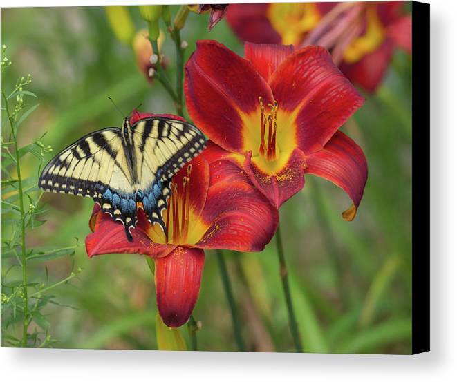 Butterfly Canvas Print featuring the photograph Settling In by Matt DiMaio III