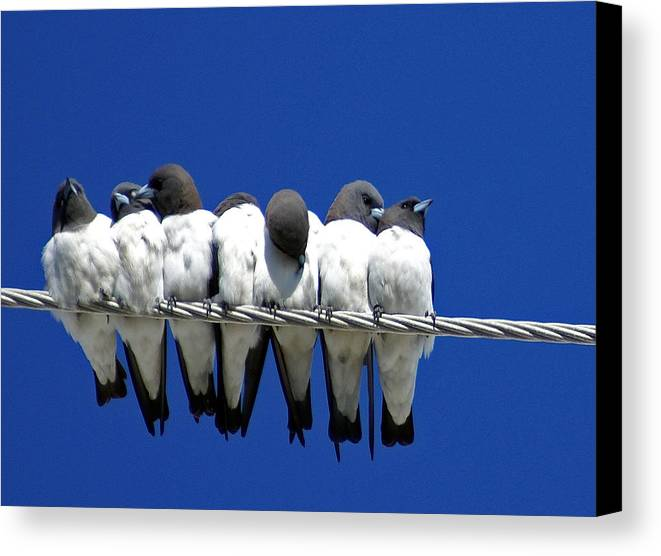 Animals Canvas Print featuring the photograph Seven Swallows Sitting by Holly Kempe