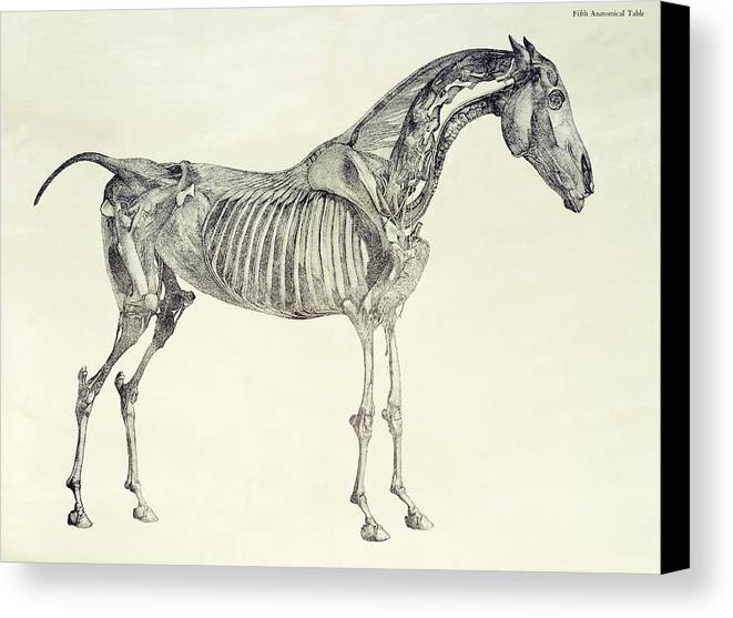 Fifth Canvas Print featuring the drawing The Anatomy Of The Horse by George Stubbs