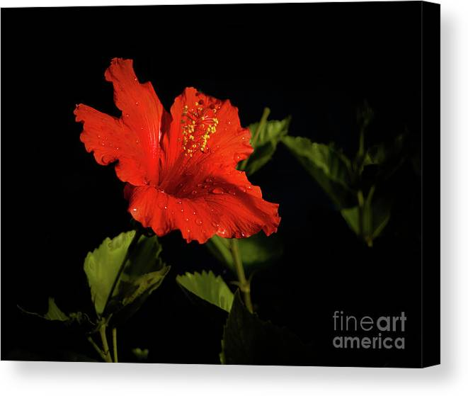 Hibiscus Canvas Print featuring the photograph The Red Hibiscus by Robert Bales