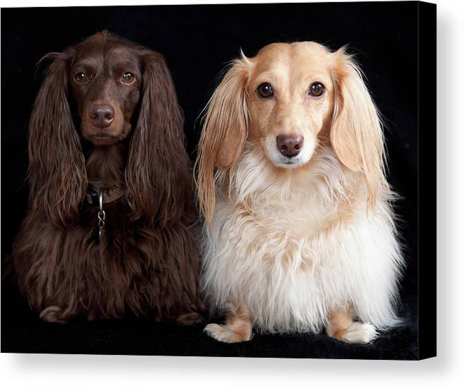 Horizontal Canvas Print featuring the photograph Two Dachshunds by Doxieone Photography