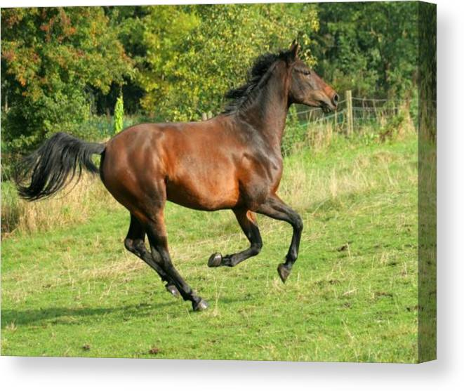 Horse Canvas Print featuring the photograph Gallop by Angel Ciesniarska