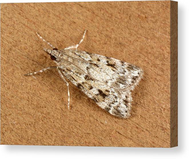 Animal Canvas Print featuring the photograph Base-lined Grey Moth by Nigel Downer