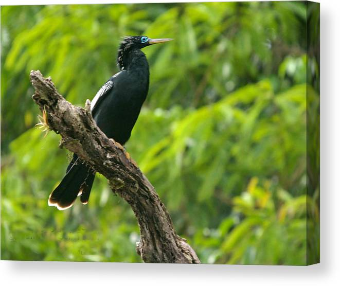 Anhinga Bird Canvas Print featuring the photograph Bird With Blue Eyes by Judith Russell-Tooth